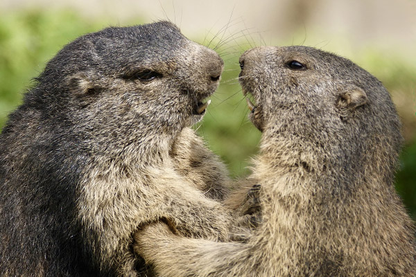 Das Foto zeigt zwei Murmeltiere im »Dialog«. Foto:  Susanne Jutzeler/Pixabay.